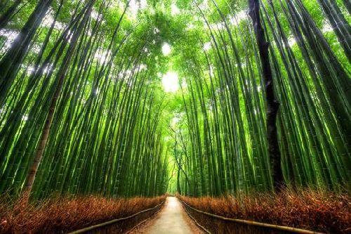 Bamboo Path - Japan