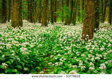 stock-photo-spring-forest-with-multiple-white-wild-flowers-ireland-53779819.jpg (450×320)