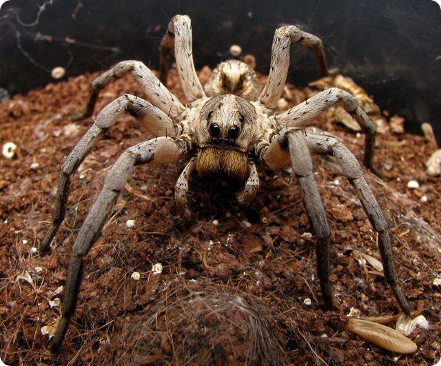 Vengeance : l'araignée loup est la première espèce dont les mâles cannibalisent les femelles. - GuruMeditation