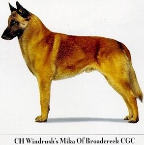 How to Identify A Belgian Malinois