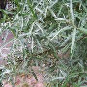 Φύλλα Ιπποφαές