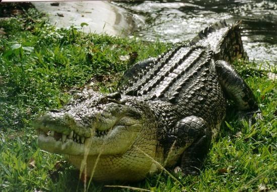 Saltwater crocodile Facts | Saltwater Crocodile Habitat & Diet