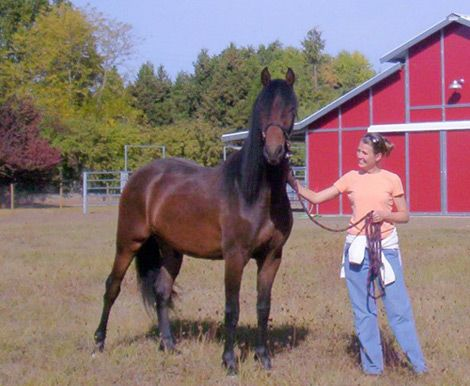 Bay Friesian Gelding, For Sale Moriesian Gelding in Oregon. DreamHorse.com is the premier horse classifieds site with horses for sale, lease, adoption, and auction, breeding stallions, and more.