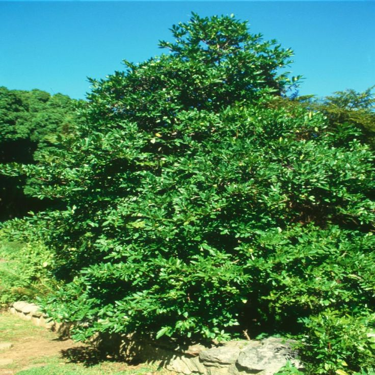 Rothmannia Capensis         Wild Gardenia    Wildekatjiepiering      S A no 693
