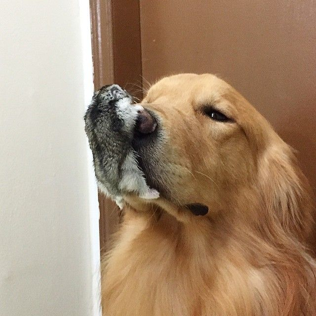 This Golden Retriever Snuggling With His Bird And Hamster Besties Proves Love Knows No Species