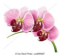 Orchidea