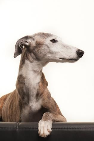 greyhound portraits -- this one has just three legs ...