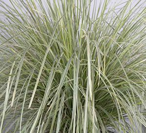 Platinum beauty lomandra backyard gardenable for Ornamental grasses that stay green all year