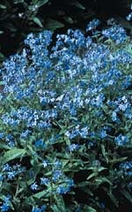 Chinese forget-me-not - Annual