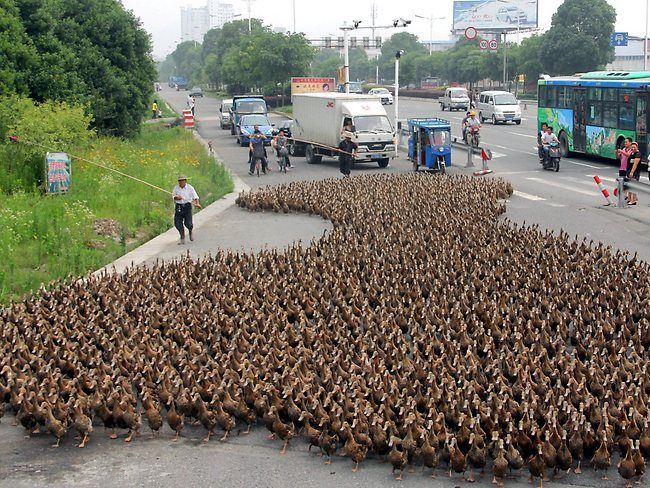 Quack march! A farmer takes his flock of 5,000 ducks for a walk in Taizhou, China.