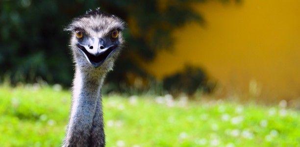 Emu Öl : Die Königin der Pflegeöle