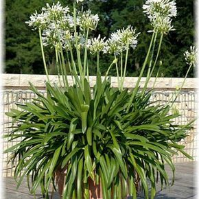 Schmucklilie Agapanthus praecox ´Albus`