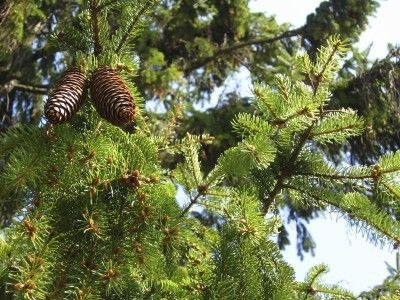 Norway Spruce Tree Info: Care Of Norway Spruce Trees -  Norway spruce is a tough conifer that makes for an easy-care landscape tree. It is also planted extensively for forest restoration and windbreaks. Planting a Norway spruce is easy and this article will help with its care.