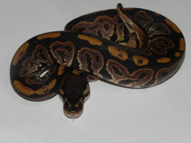 Snakes at Sunset - Black Pastel Ball Python for sale  (Python regius), $49.99 (http://snakesatsunset.com/black-pastel-ball-python/)