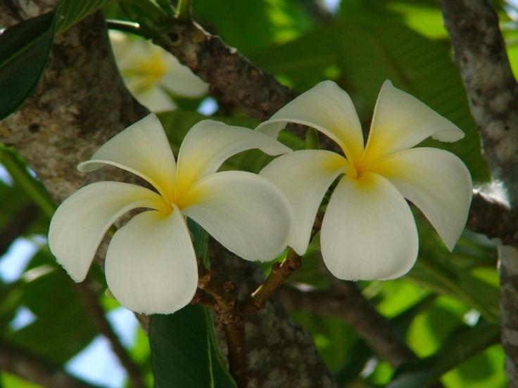 frangipani/ plumeria