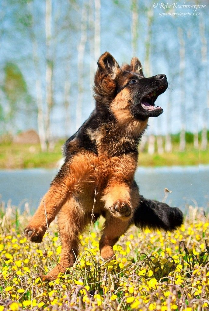 5 mo german shepherd puppy   Deila Valora                                                                                                                                                                                 More