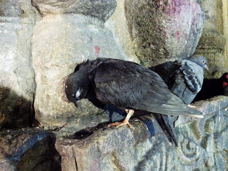 pigeon kamakhya temple, where devotees offer animals and birds for sacrificing but some give up, they are free to roam anywhere, no one caught up those.