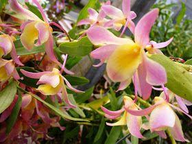 Cuidado de la planta en floración:  Invierno a Primavera   En esta época del año, tenemos que ubicar la orquídea Dendobrium Nobile en lugare...