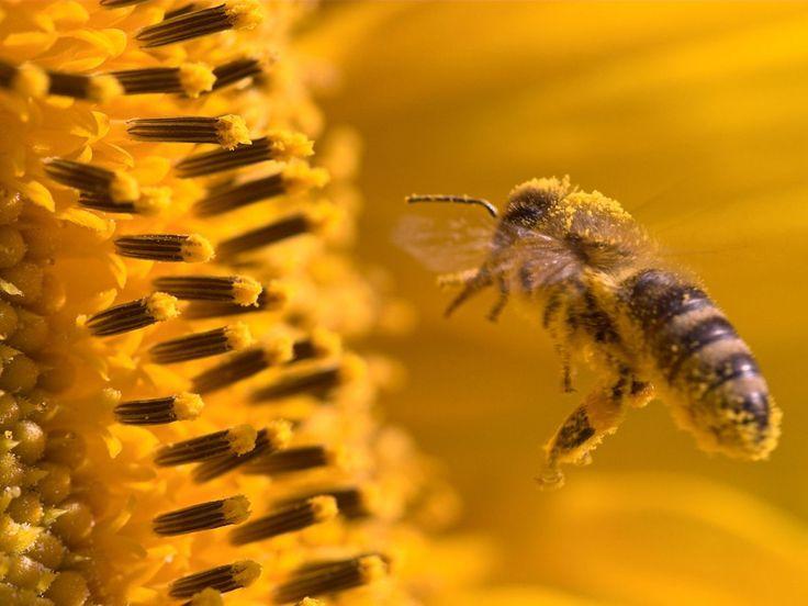 Solo il migliore #nettare viene raccolto dalle #api in #primavera e in #estate, poi viene trasformato in una sostanza sublime: il #miele. Il #polline intrappolato sul corpo dell' #ape serve come valido integratore alimentare #naturale. #TrentinoNatura, #TrentinoWow.