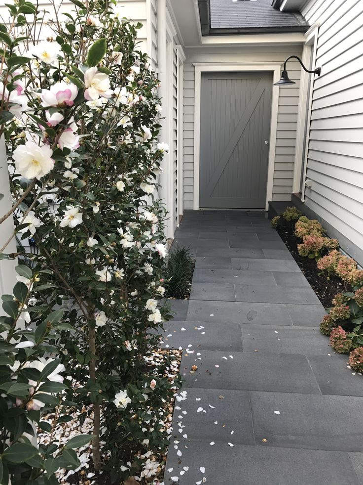 Winter has arrived and the Camellias are still blooming!