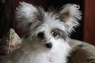 Papi Poo Papillion And Poodle Mix This Dog Does Not Shed