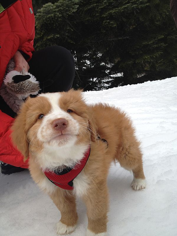 The face of a sweet, and compassionate search and rescue Nova Scotia Duck Tolling Retriever.
