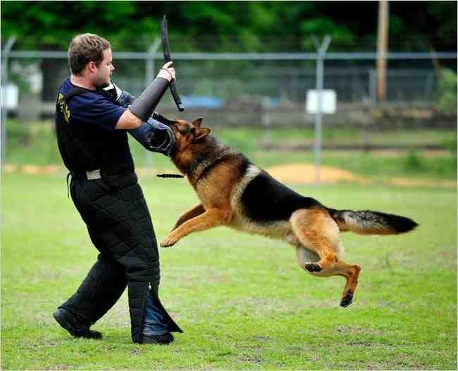 Guard Dog Training Guarddogtraining Guard Dog Training Dog