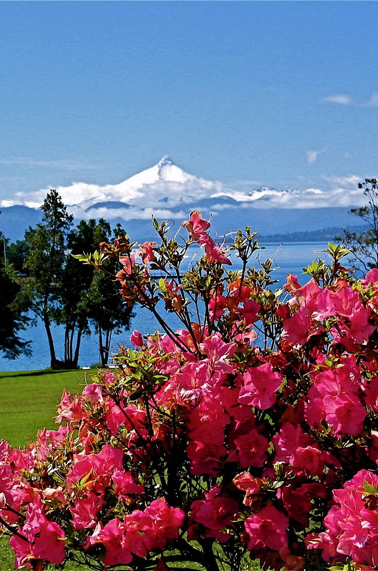 Rupanco lake, Azaleas Chile. Puntiagudo volcano as a background