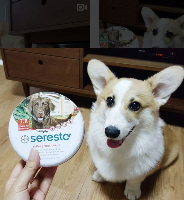 Looking for a clean and easy way to keep fleas and ticks off your dog? Try the new Seresto collar! Check them out here: http://www.entirelypets.com/seresto-for-cats-and-dogs.html?utm_source=facebook&utm_medium=web&utm_campaign=epfbpostproduct (Via IG: welshcorgi_mony)