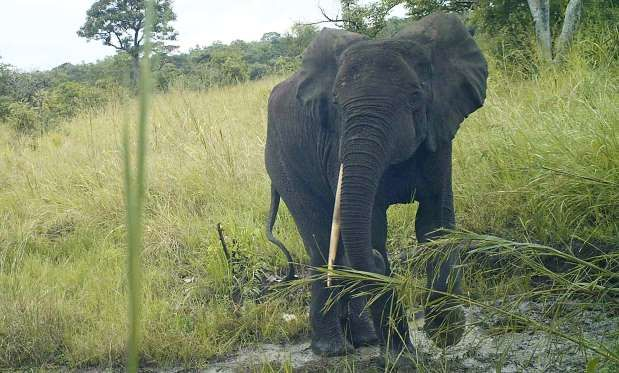 Rare elephant species found in war-torn South Sudan: The forest elephant has straighter tusks than its cousins and more rounded ears and head.