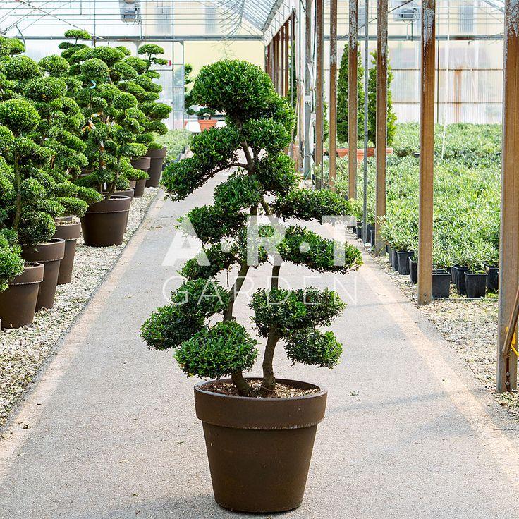 595 best images about arbres nuage japonais bonsai geant on pinterest gardens trees and prunus. Black Bedroom Furniture Sets. Home Design Ideas