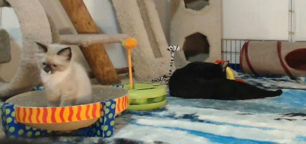If you haven't seen the Kitten Cam before, get ready for some adorable kittens! These little fosters are 24/7 entertainment! http://moderncat.com/articles/kitten-cam/69964