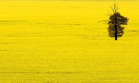 Oilseed-rape-002.jpg (460×276)