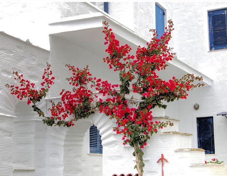 The bougainvillea tree - Andros Island, Greece - Pixdaus