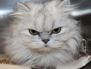Persian kittens for sale in appleton wi