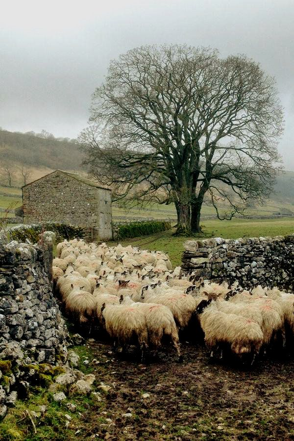pagewoman: Swaledale Sheep and Barn, Malham, Yorkshire Dales, England (by Hill Top Farmgirl) — FUCKITANDMOVETOBRITAIN
