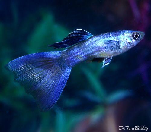 Moscow Blue Guppy, Featured item. #moscow #blue #guppy #fish #petfish #aquarium #aquariums #freshwater #freshwaterfish #featureditem