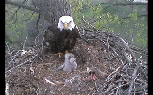 Baby Bald Eagles Hatching on Live Webcam! (Updated) : TreeHugger