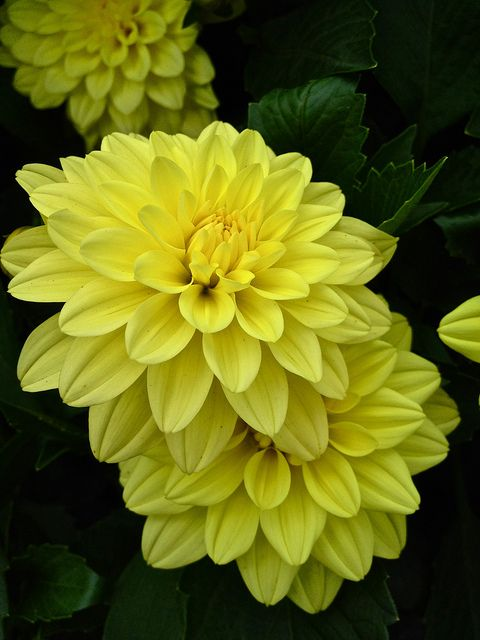 Lemon Yellow Dahlias | Pretty Flowers | Pinterest ...