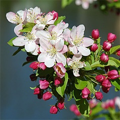 """Crab Apple / Malus sylvestris:    """"This is the remedy of cleansing. For those who feel as if they have something not quite clean about themselves. Being a cleanser, this remedy purifies wounds if the patient has reason to believe that some poison has entered which must be drawn out."""" - Dr. Edward Bach www.livingmybest.org"""