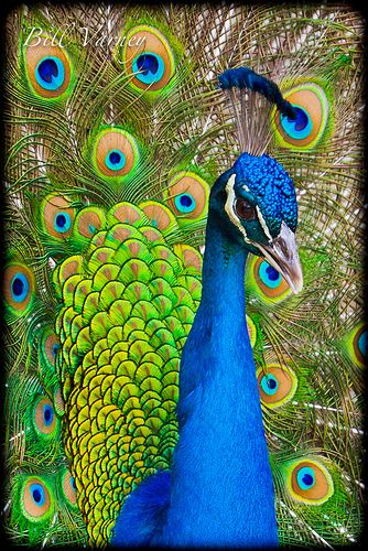 Peacock Headshot