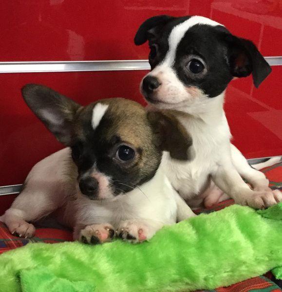 Chihuahua mâles  poils court