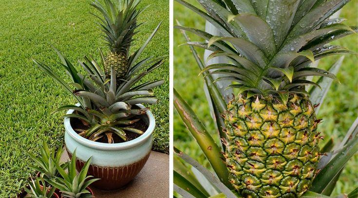 5 étapes faciles pour faire pousser un ananas à la maison