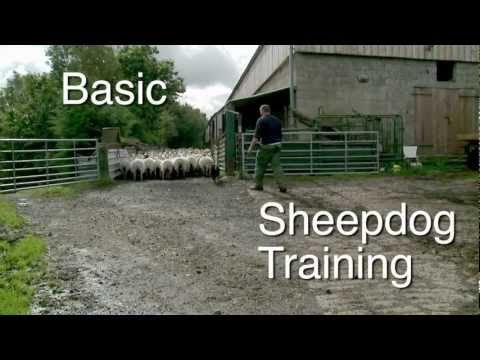 ▶ Sheepdog Training Tutorials and Online lessons on how to train a stock dog for herding sheep - YouTube