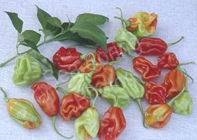 Attractive potted chilli plants, fresh chillies, vegetable seed and other merchandise will be available from Sea Spring Seeds, find them in the Food Hall.