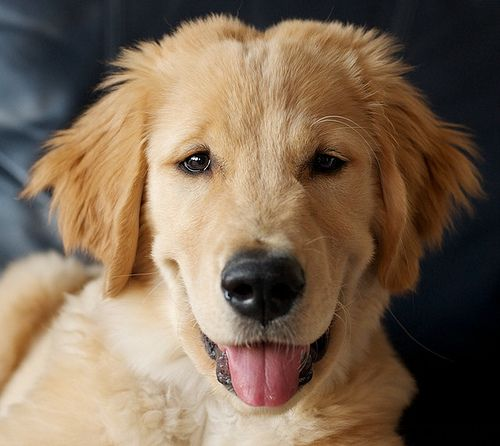 7489 best images about I love golden retrievers ...