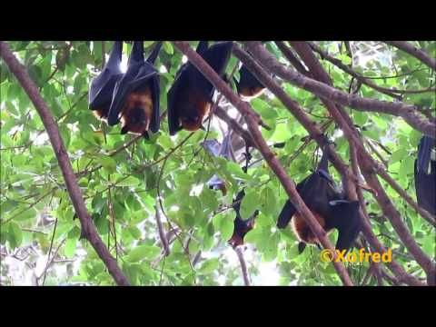 Lyle's Flying Foxes, Raposas Voadoras de Lyle, from Frederico Morais