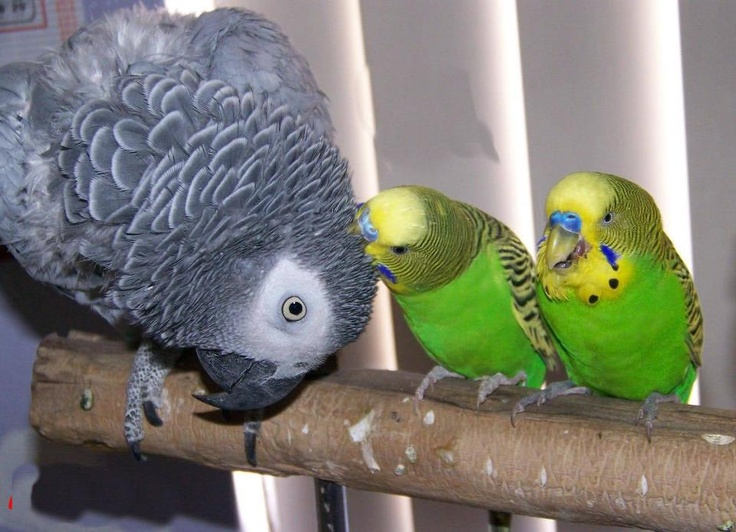 Two male budgies. One preening an African Grey parrot.