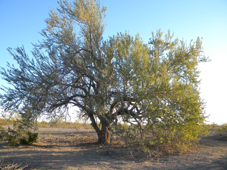 The 25 Best Ironwood Tree Ideas On Pinterest Persian