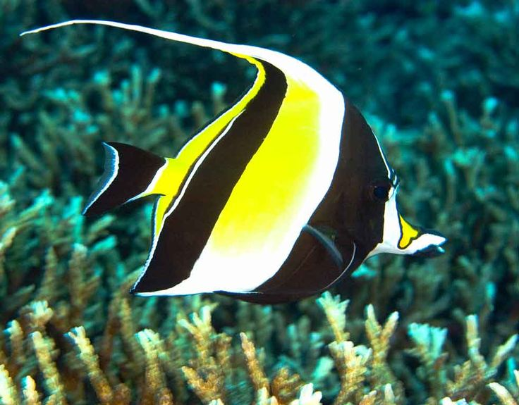 17 best images about pets i want one day on pinterest for Moorish idol fish